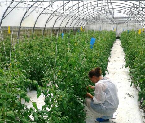L aleurode les tomates et la coccinelle une histoire de for Vers dans les tomates