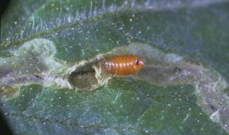 Les mouches mineuses de feuilles portail d 39 information - Maladie poireau mouche mineuse ...