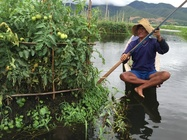Growing vegetables on Inlay Lake, Myanmar