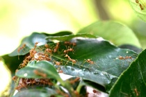 Weaver ants in a citrus orchard in Vietnam © Philippe Cao Van (Cirad)